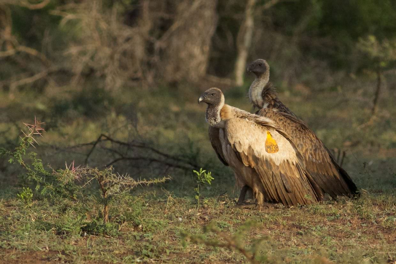 Vulture M038