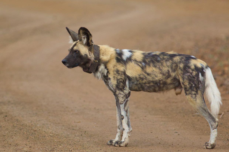 Wild dog, Madikwe 3