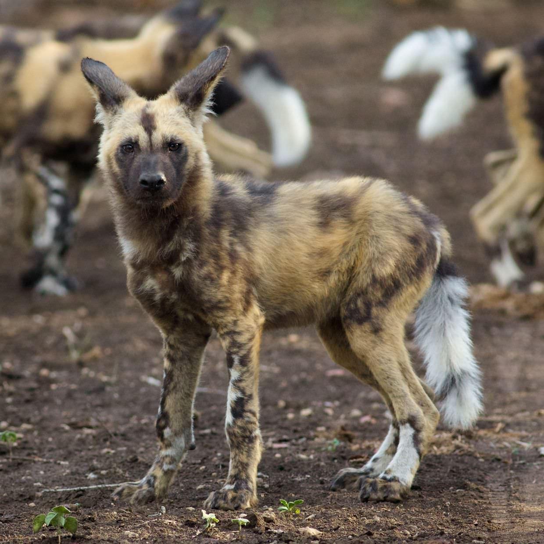 An inquisitive wild dog pup