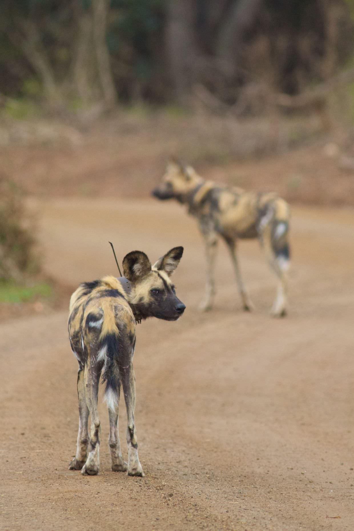 Wild dogs, Ezweni and Madikwe 2