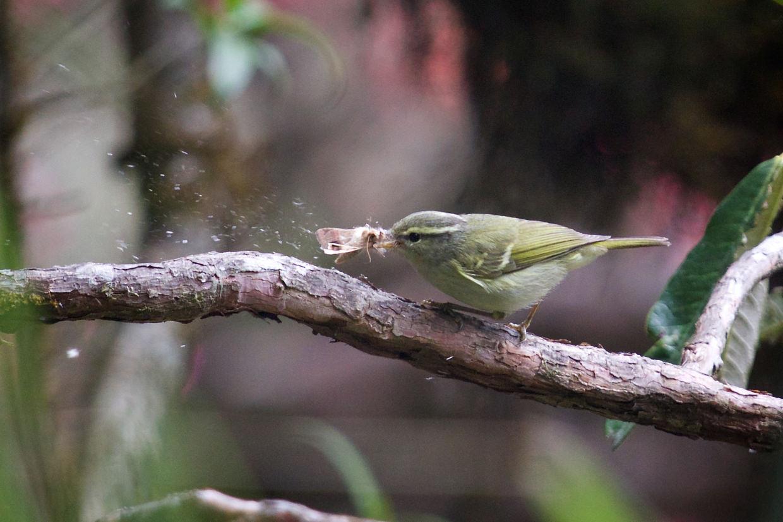 Bird wrestling a moth