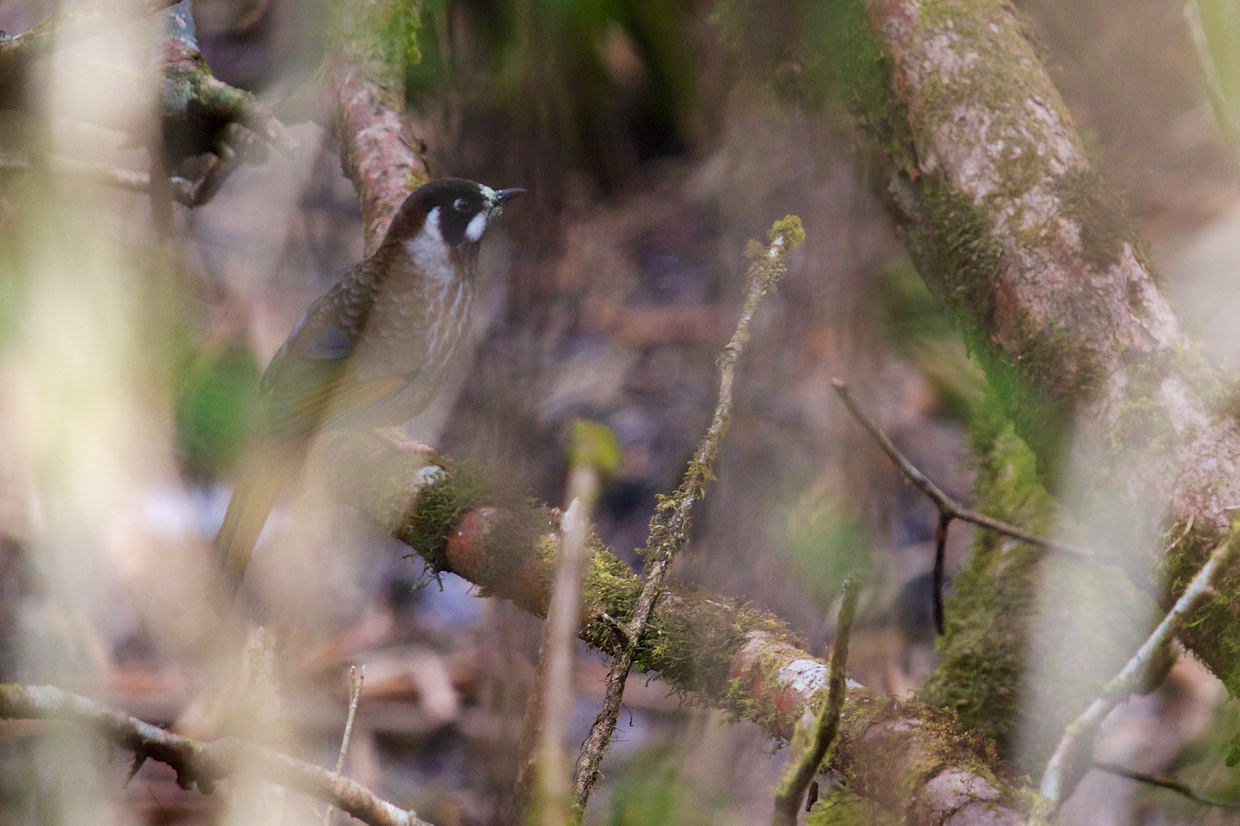 Black-faced laughing thrush foraging in the undergrowth
