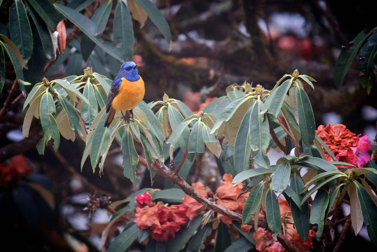 Blue and orange songbird in a rhododendron
