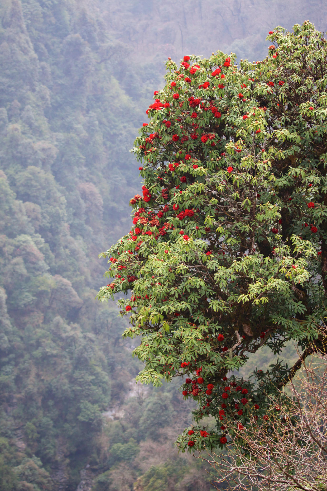 Rhododendrons leaning over the valley