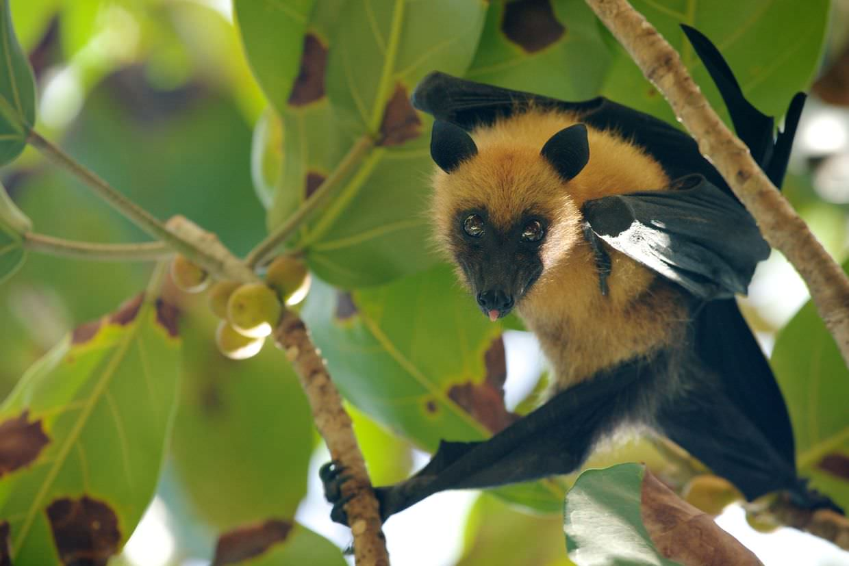 A cheeky seychelles fruit bat with some takamaka fruit