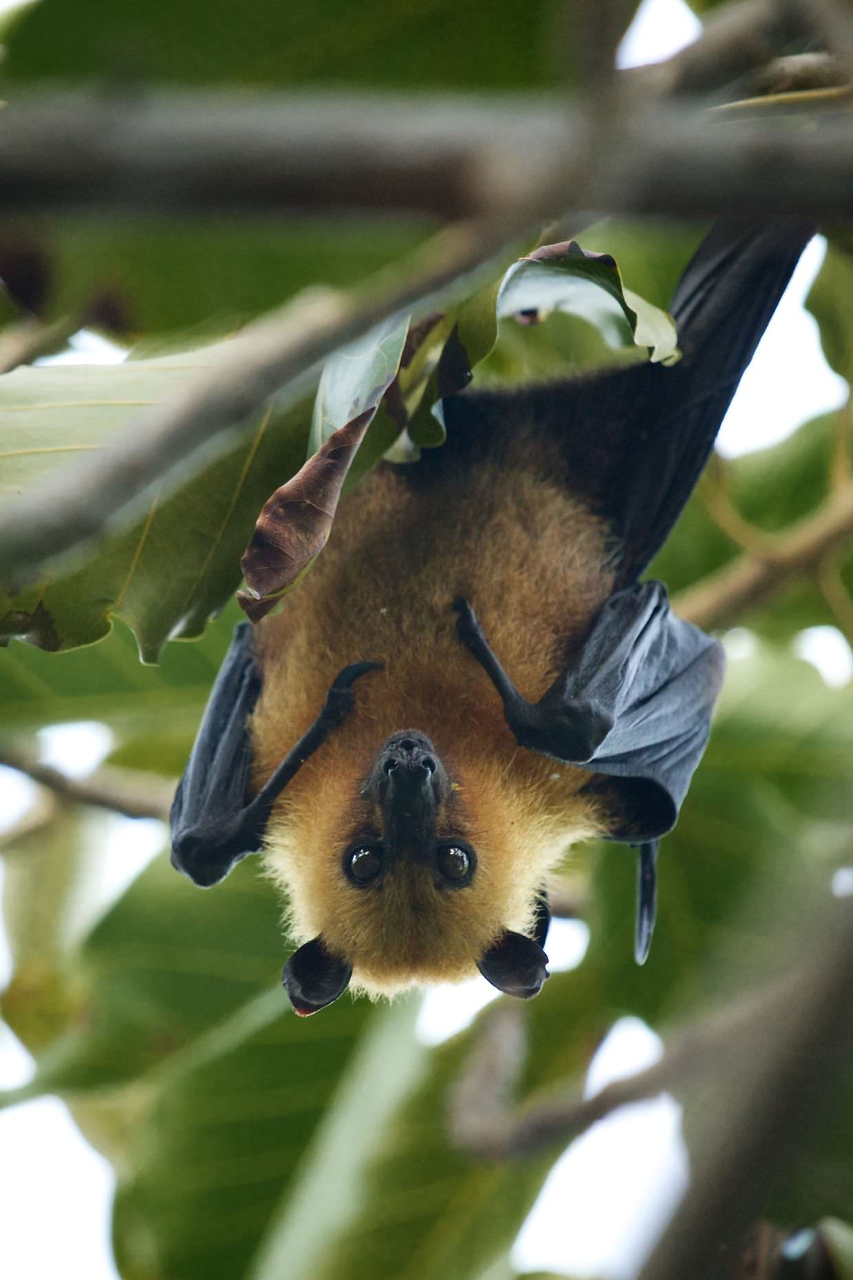 A seychelles fruit bat hanging besides the volunteer house