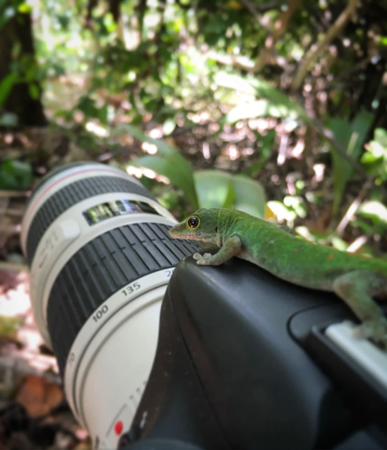 Phelsuma gecko on my camera near the tree nursery