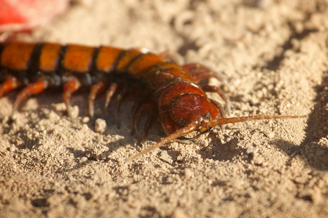 A large giant centipede