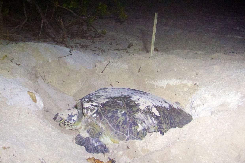 Turtle 3 laying near the sala