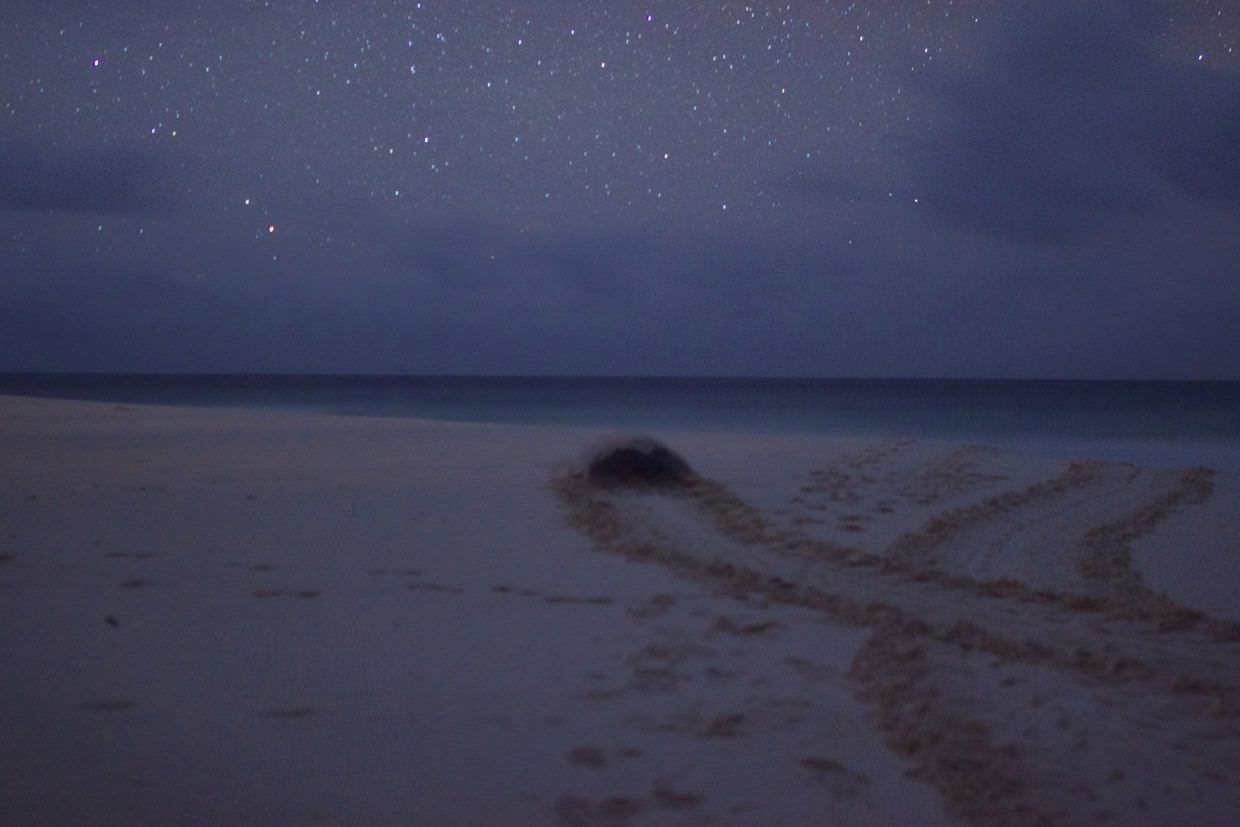 A green turtle leaving west beach, heading for the stars
