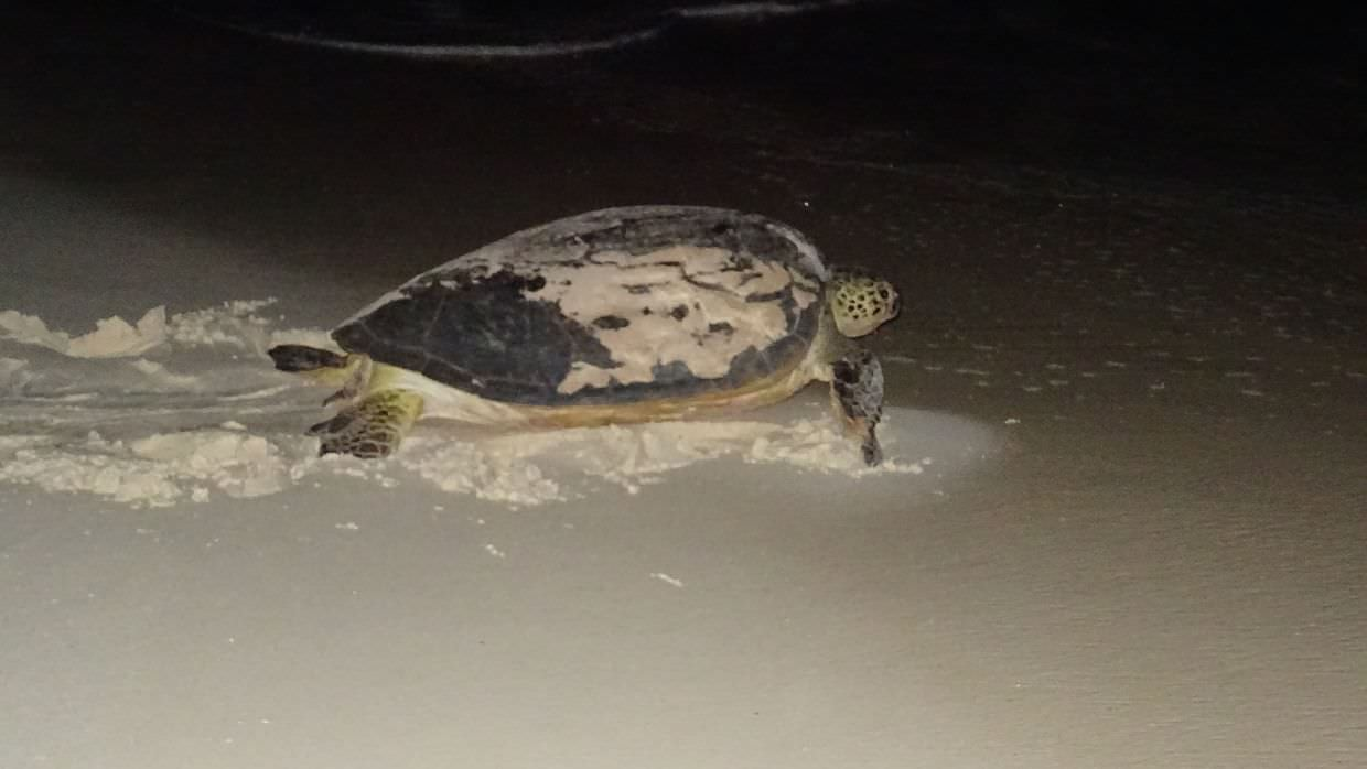 The green turtle, photographed by Jeremy, just before it entered the sea.