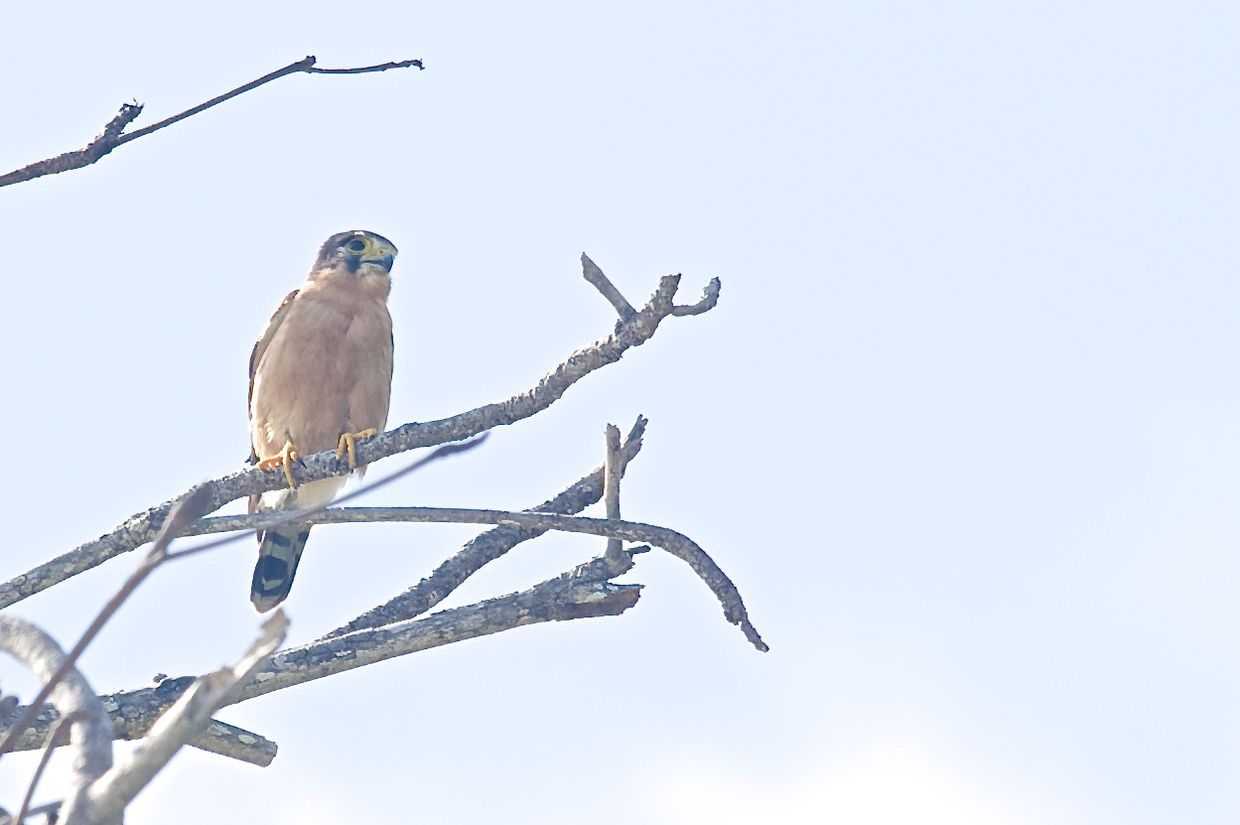 Seychelles kestrel in an indian almond tree on West Beach