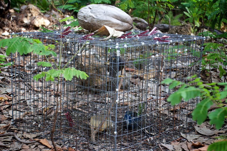 Myna bird trap
