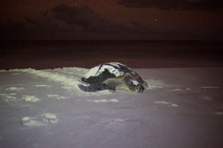 Green turtle facing back towards beach