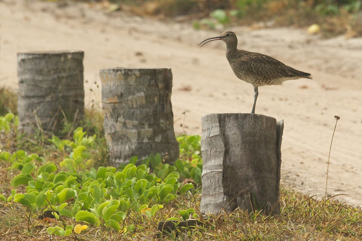 Common whimbrel near staff beach