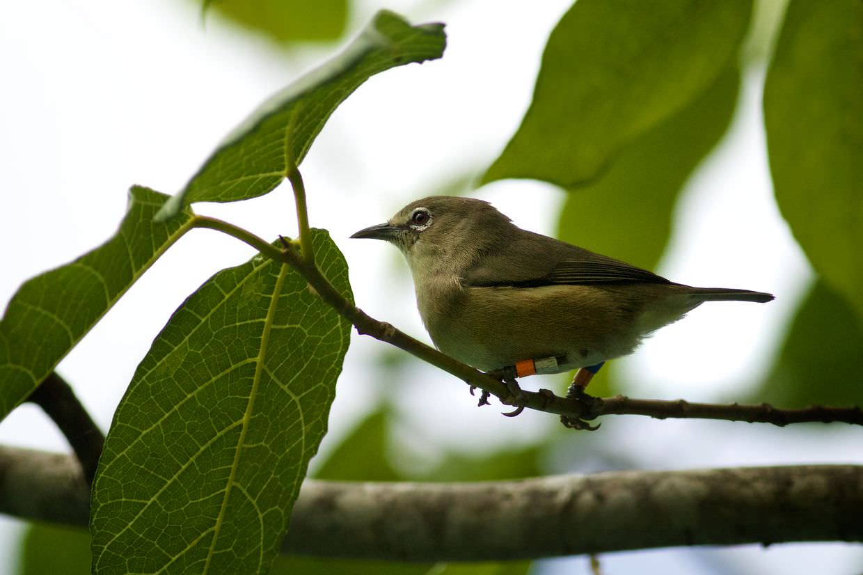 Another white-eye, part of a group near the tree nursery