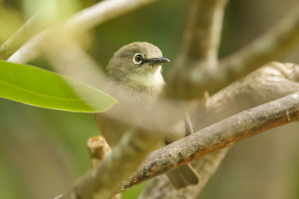 Seychelles white-eye near the tree nursery