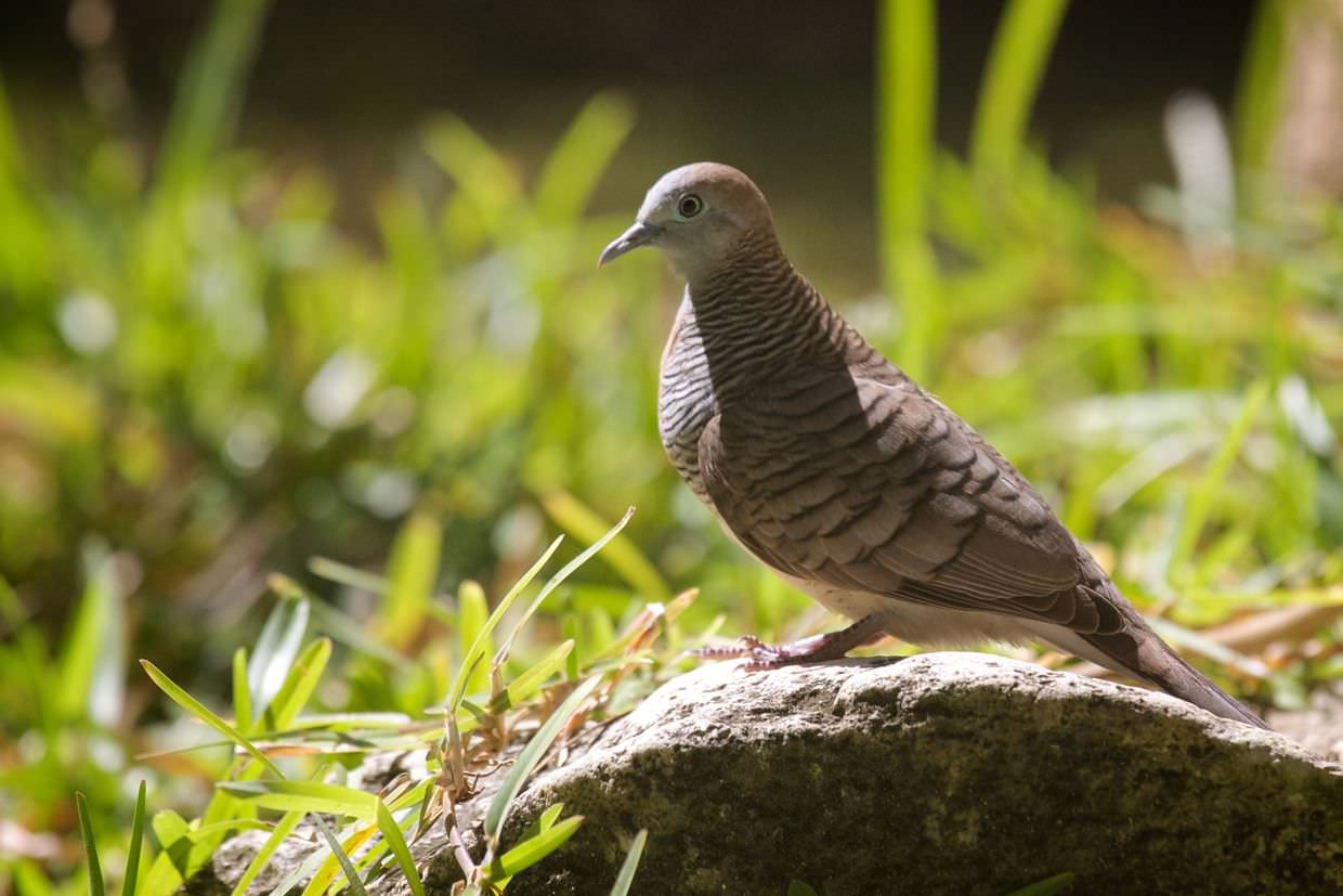 Zebra dove besides the volunteer house