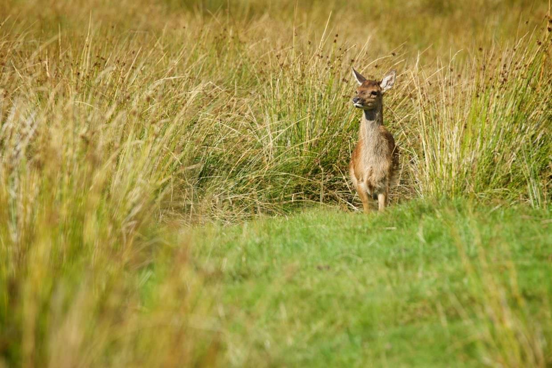 Red deer calf in long grass