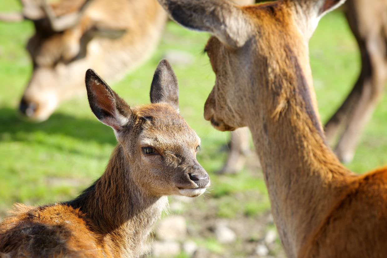 Red deer calf and mother