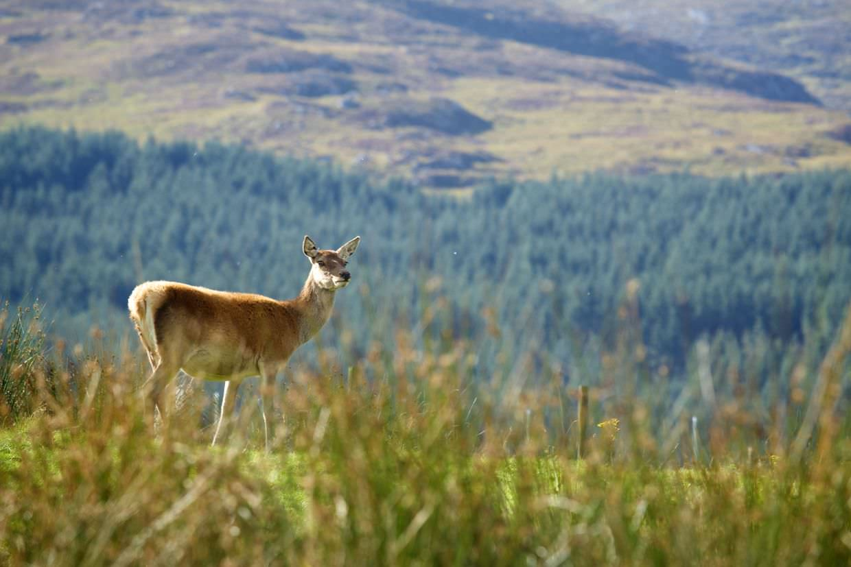 Red deer on a hill