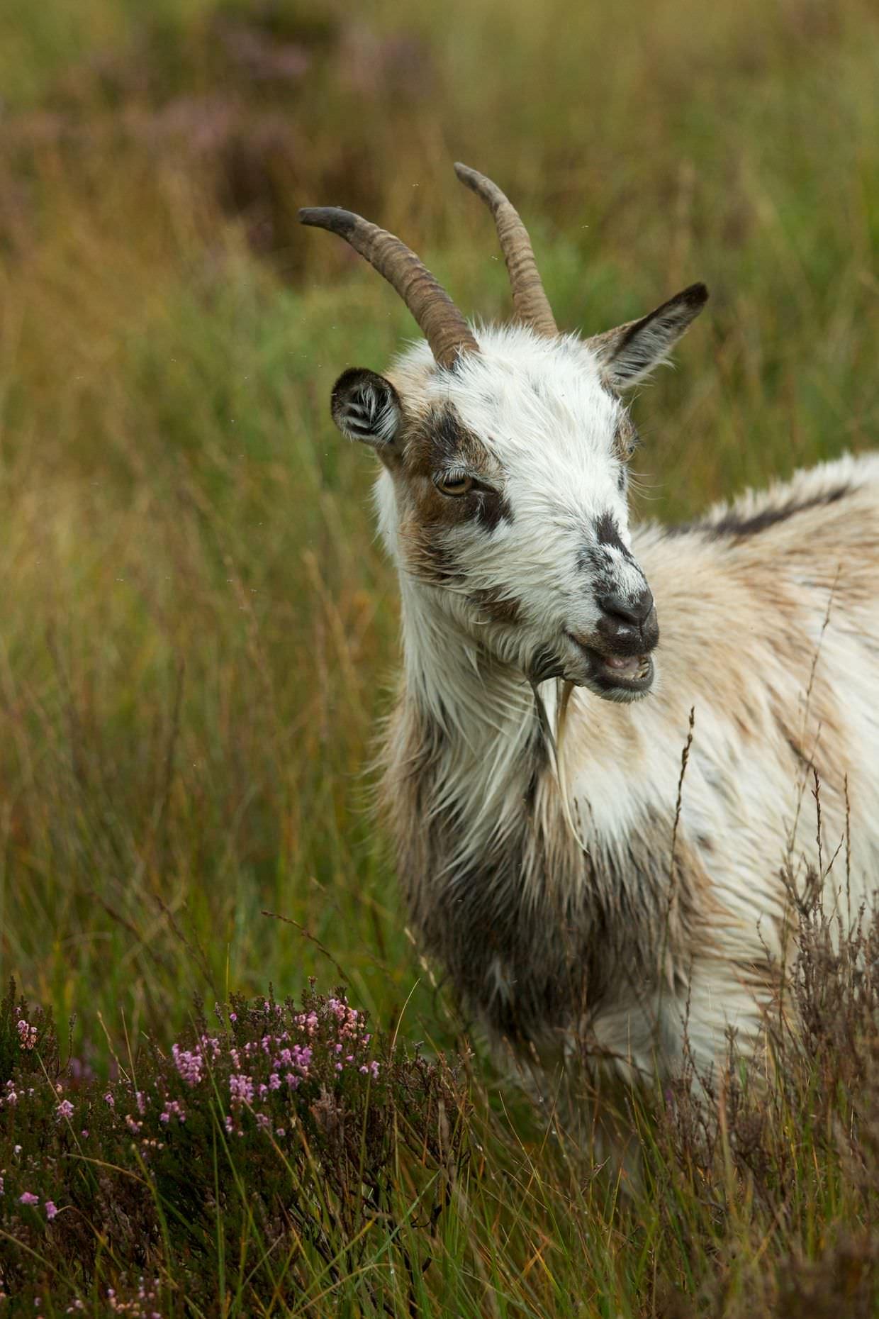 A wild goat
