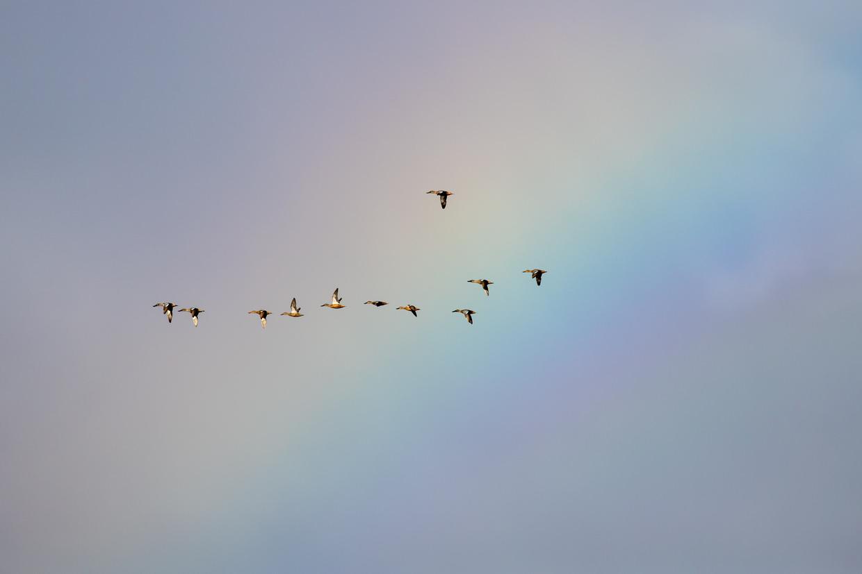 Shoveler ducks against a rainbow