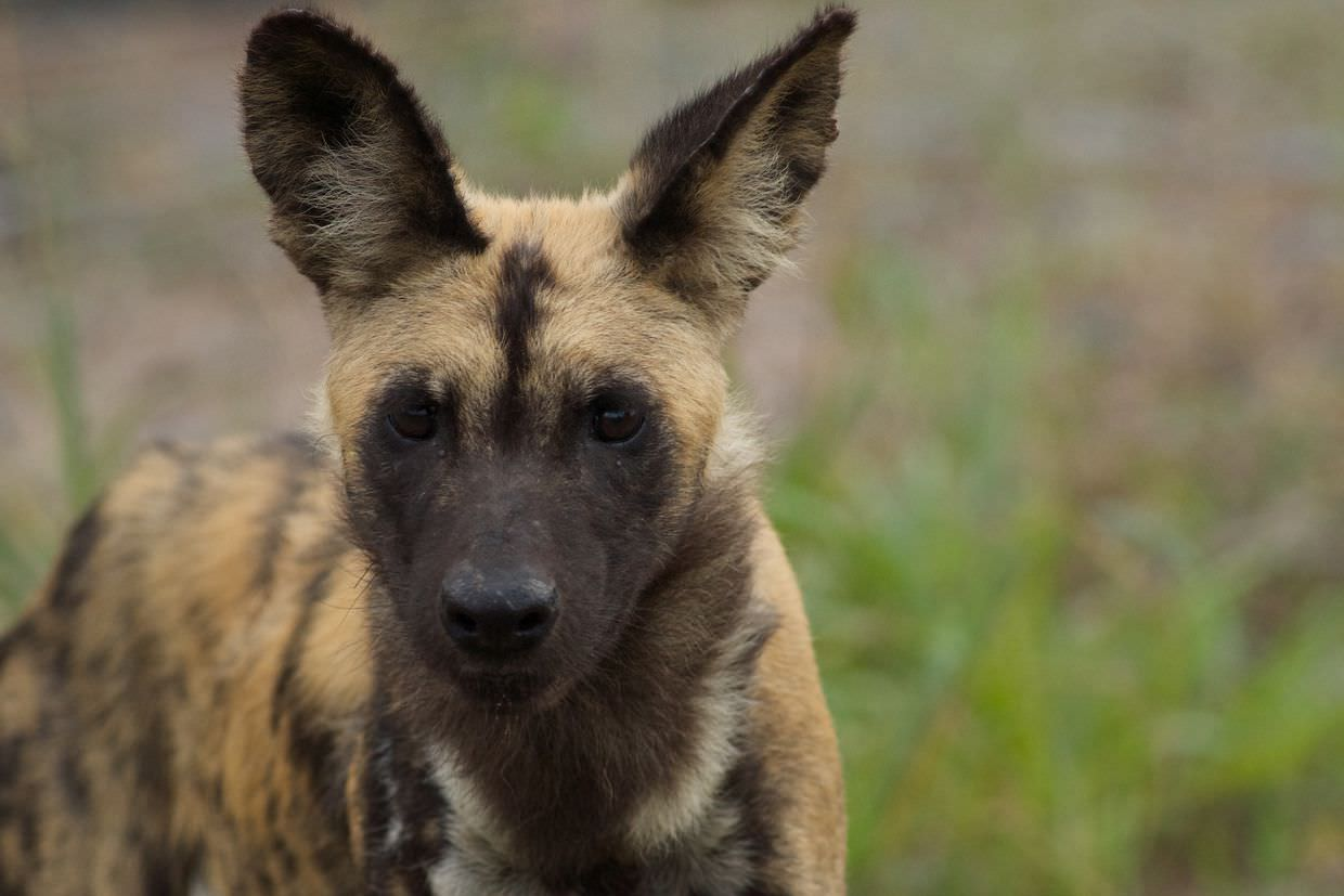 A yearling, one of the wild dogs still in the boma