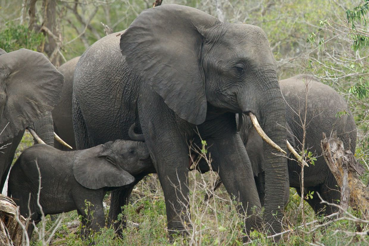 A young elephant feeding amidst the herd