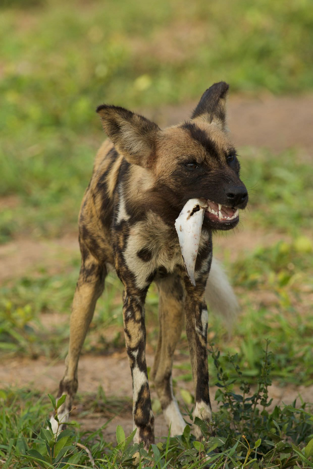 Wild dog chewing on an ear