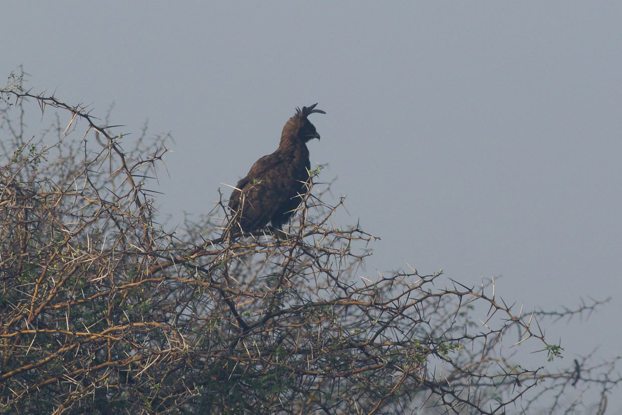 A crowned eagle