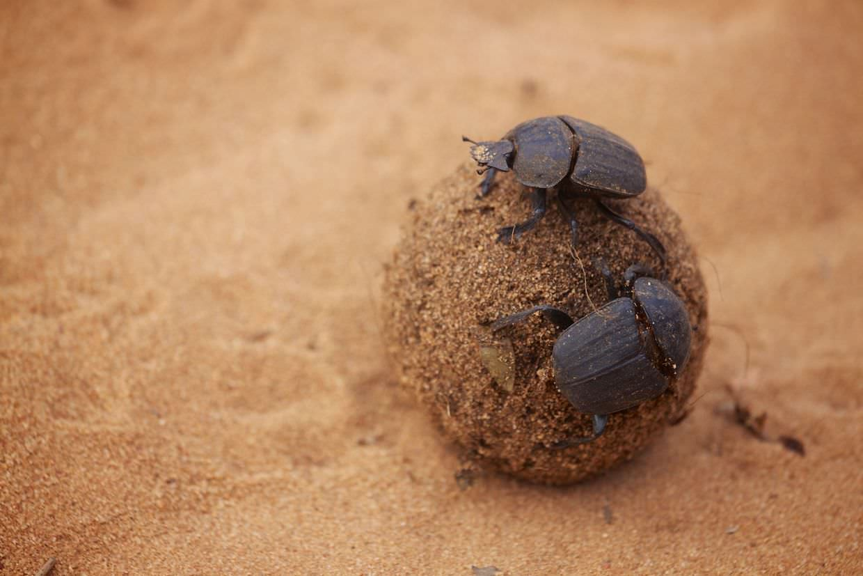 Dung beetles doing what they're famous for