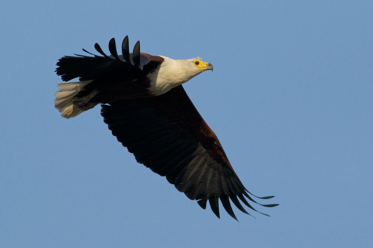 Fish eagle flying over boma