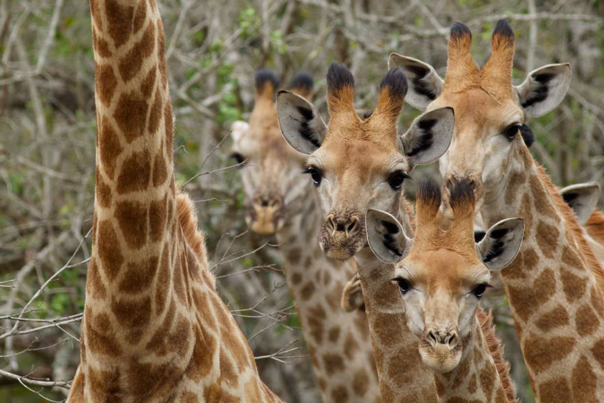 A gathering of giraffe