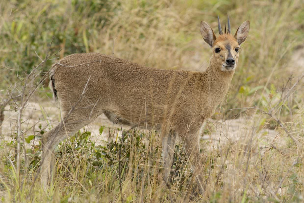 Grey duiker posing for a photo