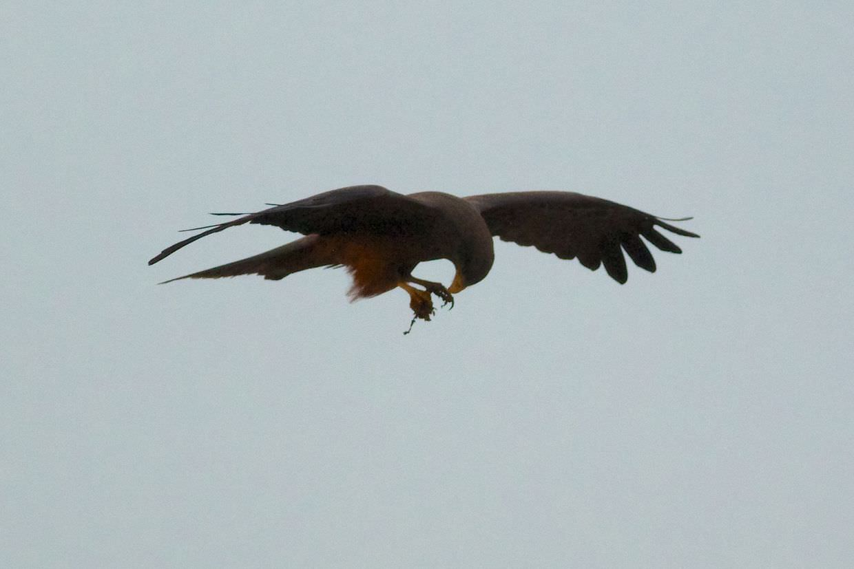 Kite feeding on the wing, eating bits of meat it stole from us