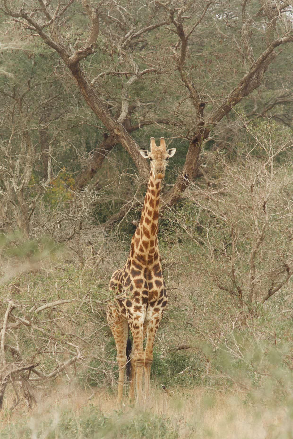 Anxious giraffe