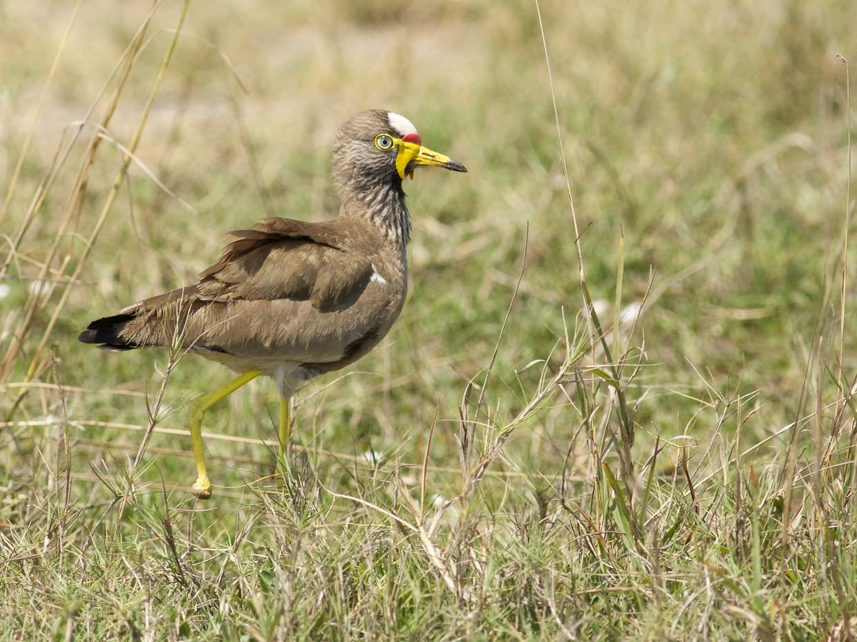 White-crowned lapwing, missing a foot