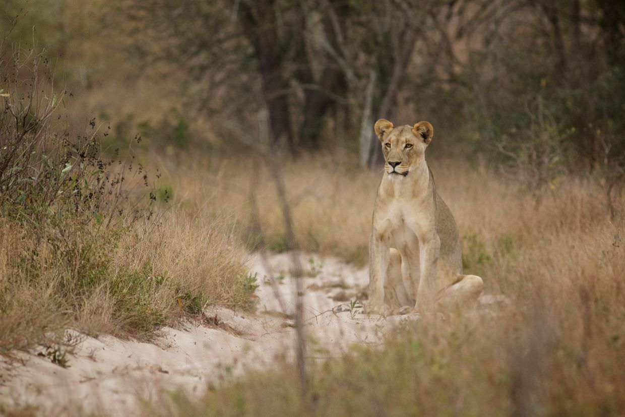 Lioness sitting in the road