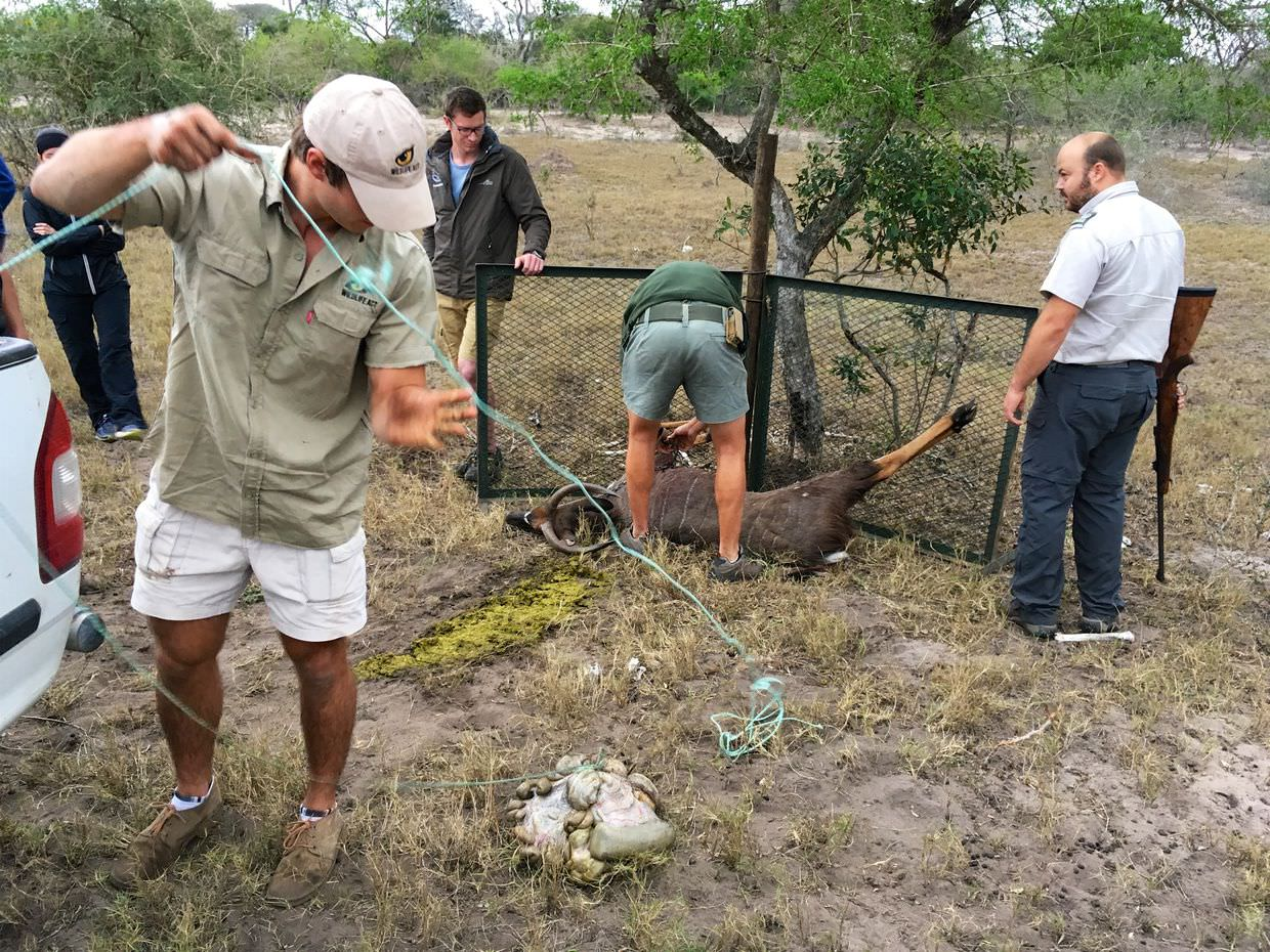 Hayden, Leo and the vets prepping the nyala bait for the lions