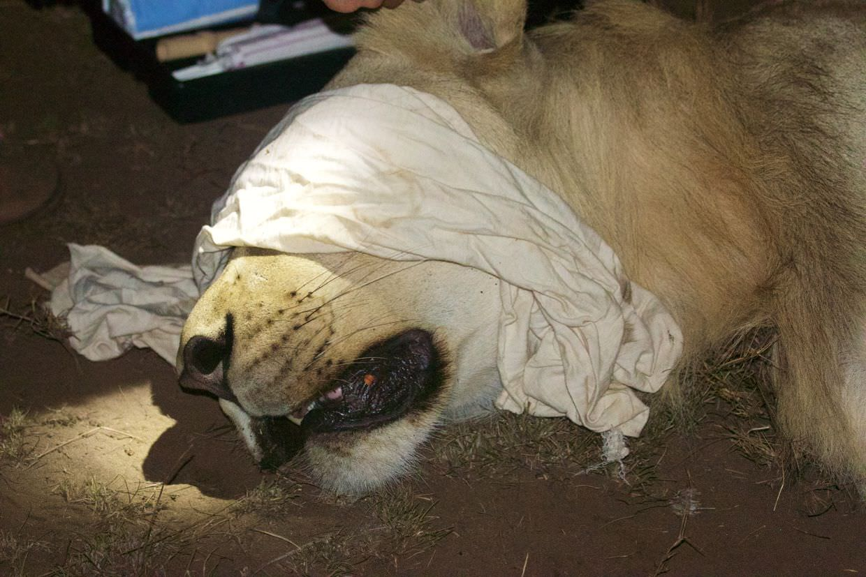 One of the sedated male lions