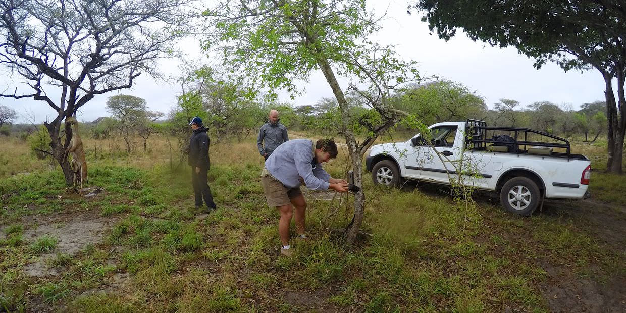 Setting up a camera trap, nyala bait on the left