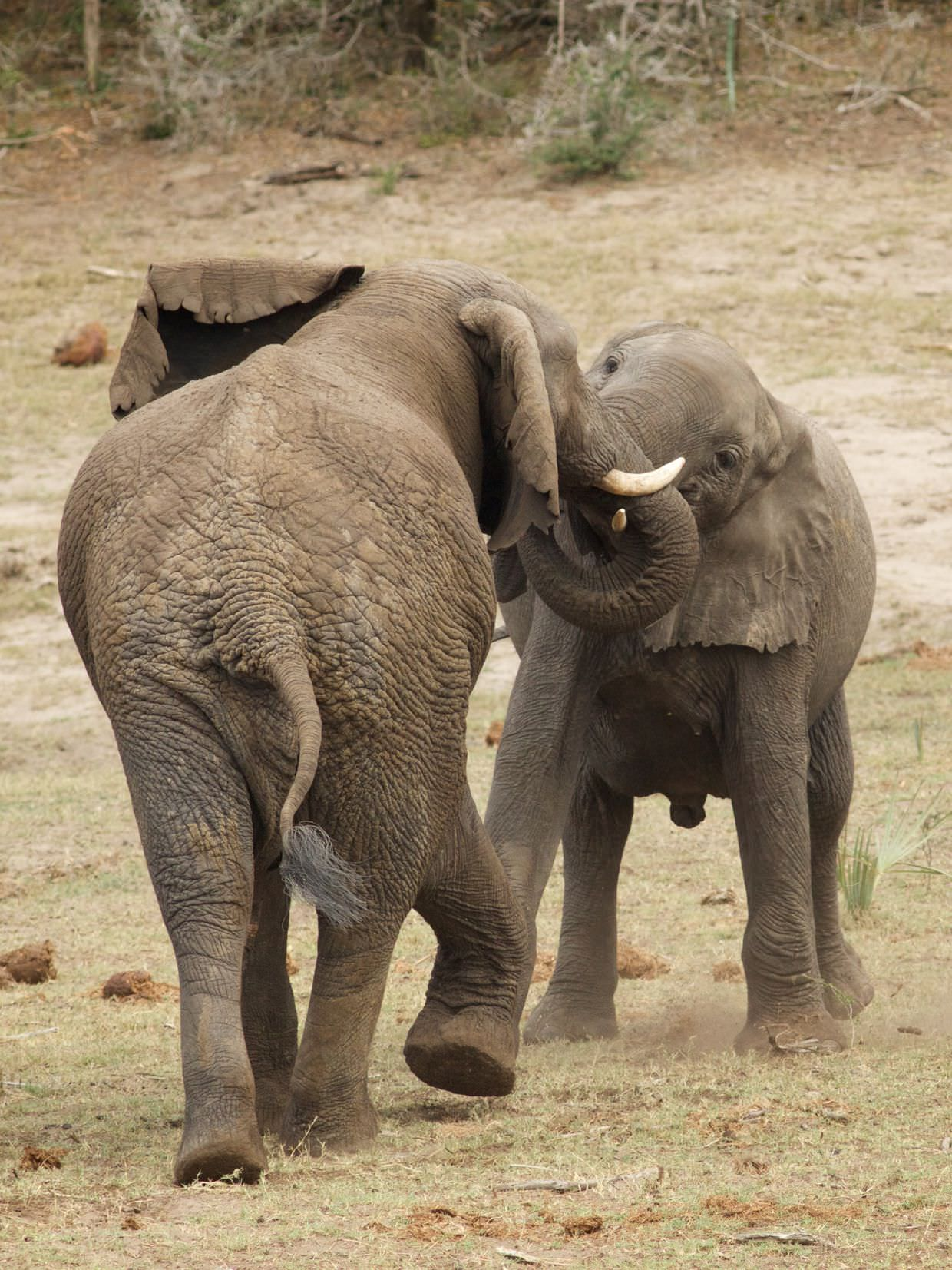 Sparring elephant bulls