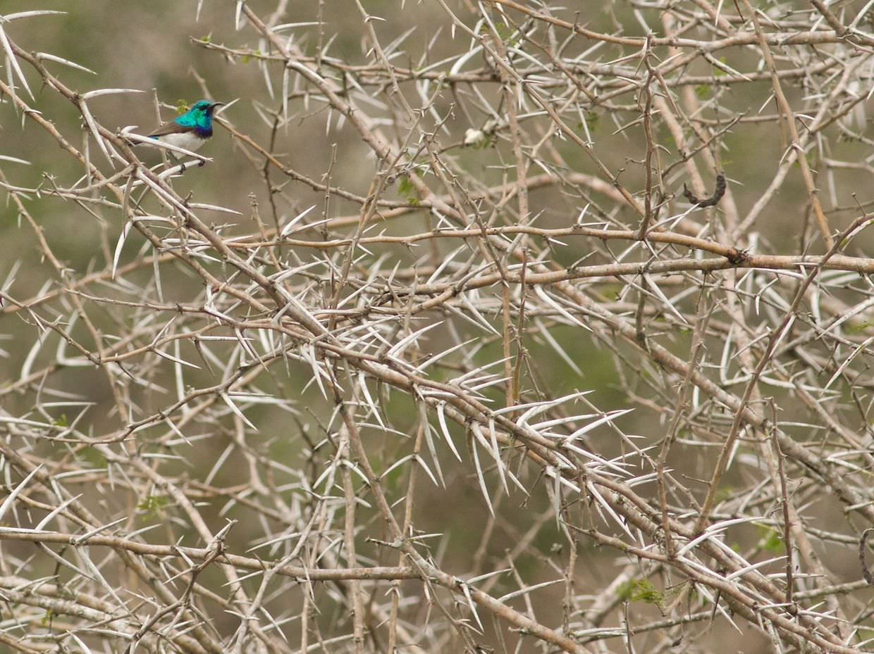 Sunbird in the thorns