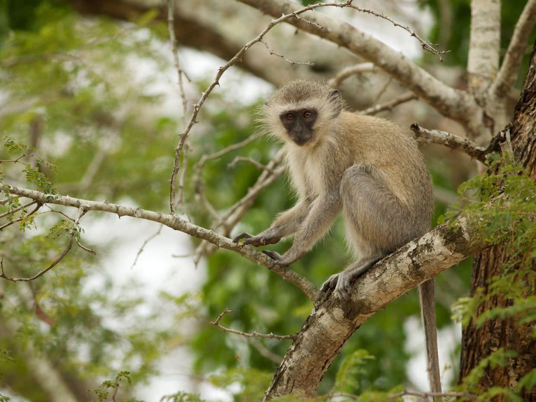 Vervet monkey at camp