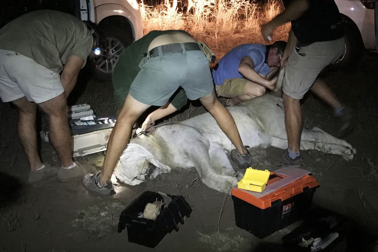 Vets working on the sedated lion, preparing to collar and taking blood samples