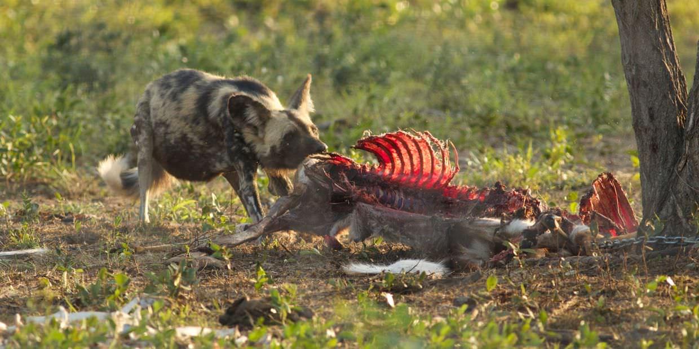 Wild dog feeding on scraps in the boma