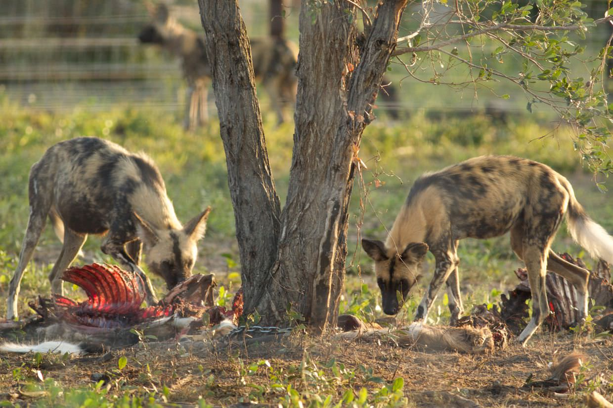 Wild dogs in boma finding an evening meal