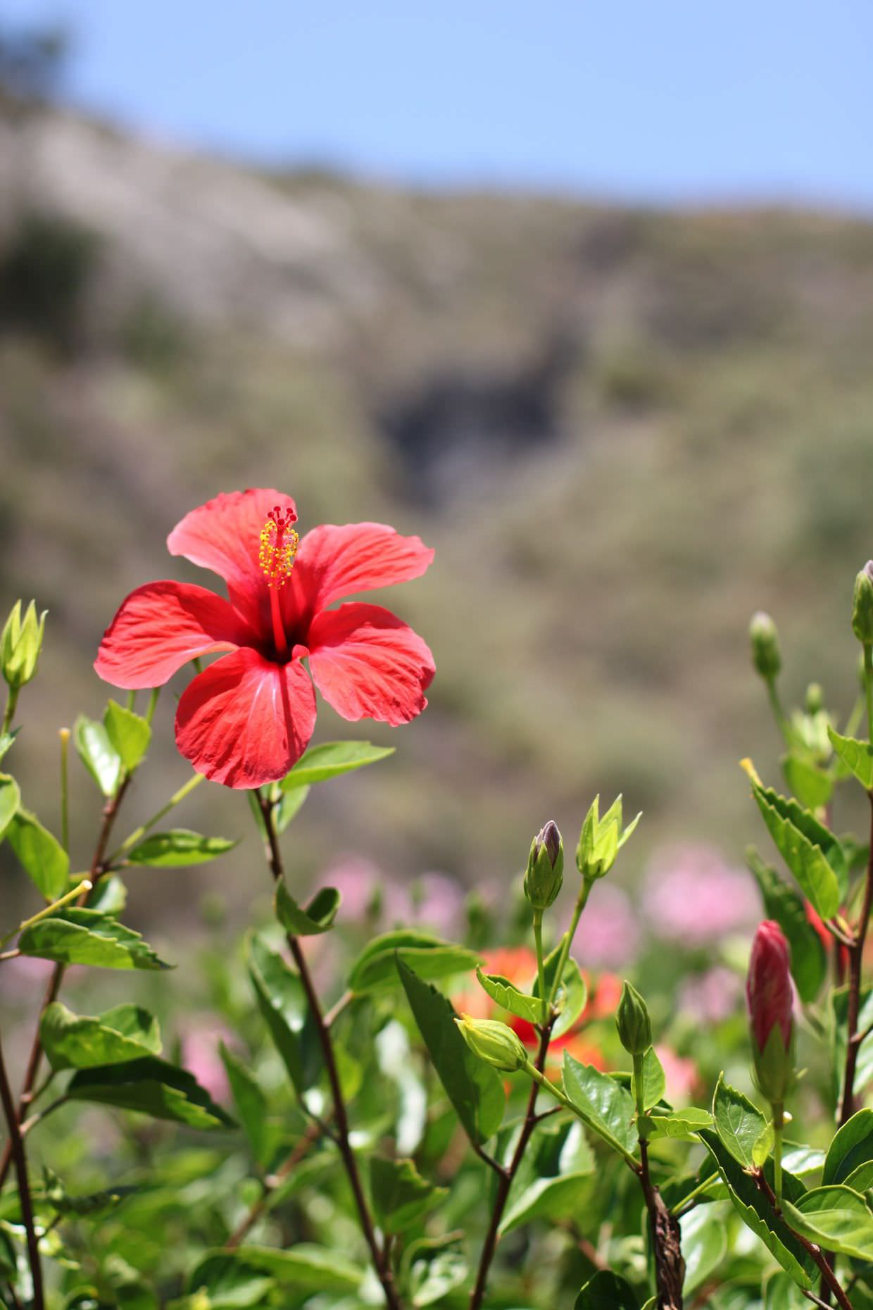Sicilian Hibiscus against the backdrop of Vulcanello