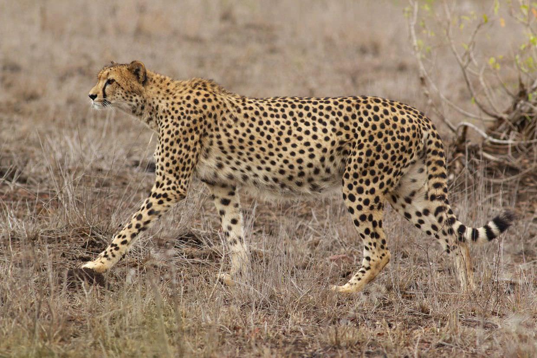 An ideal cheetah identification photo